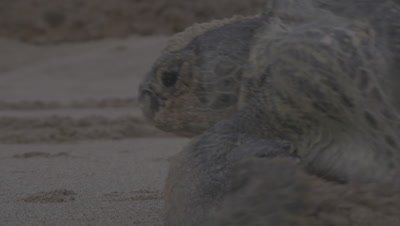 Female Green Turtle Crawls on Beach after Nesting,Heading Back to Sea