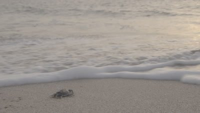Exhausted Green Turtle Hatchling Crawls Toward Sea,Hit by Wave