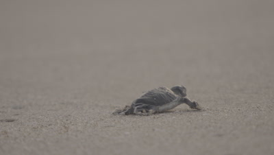 Exhausted Green Turtle Hatchling Crawls Toward Sea