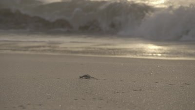Green Turtle Hatchling Heading Back to Sea