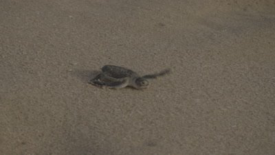 Green Turtle Hatchling Crawls over Sand,Headed to Sea