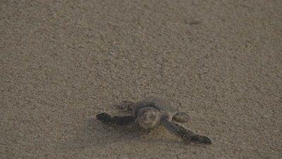 Green Turtle Hatchling Crawls over Sand,Headed to Sea,Hit by Wave