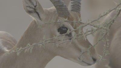 Rare Arabian or Mountain Gazelles Feeds on Thorny Acacia Plant