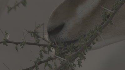 Rare Arabian or Mountain Gazelle Feeds on Thorny Acacia Plant