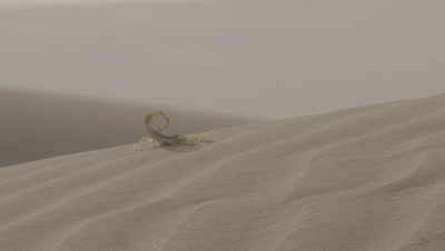 Scorpion On Desert Sand Dune,Sticks Tail Up