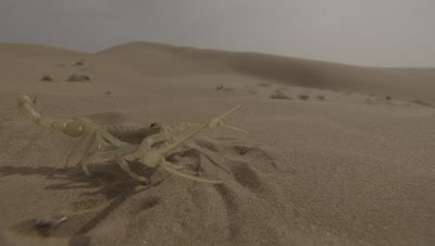 Scorpion In Desert