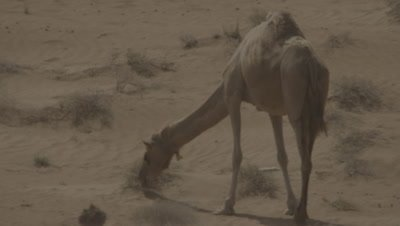 Camel Grazes in the Desert