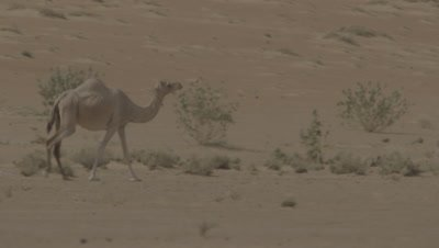 Camel Walks in the Desert