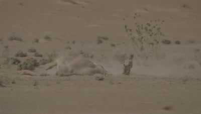 Camel Takes Dust Bath in the Desert