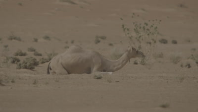 Camel rests in the Desert