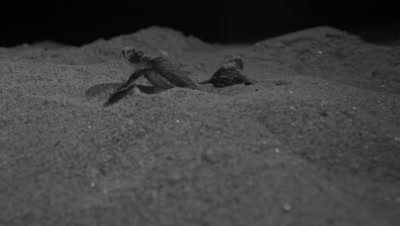 Green Sea Turtle Nesting,Hatchlings Emerge from Sand