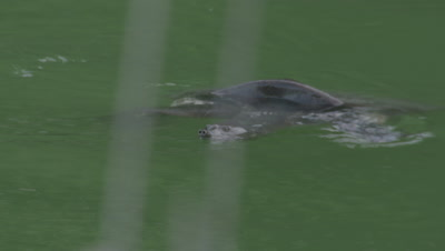 Nile Softshell Turtle Swimming,Comes Up for Air