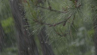 Close-Up Of Pine Branch In Rain