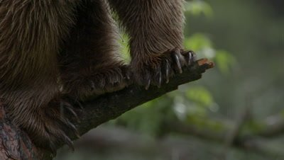 Bear Climbing A Pine Tree During Rain