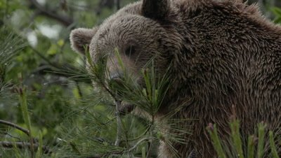 Brown Bear Eating Pinecone