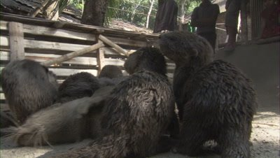 Otters Used for Traditional Fishing Tied in Dirt Pen