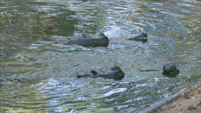 Gharials Swimming In A River