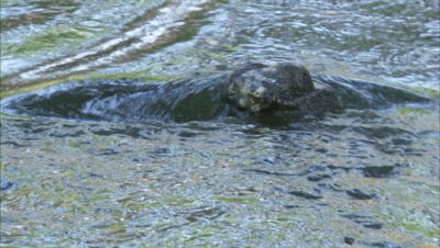 Gharial Swimming In A River