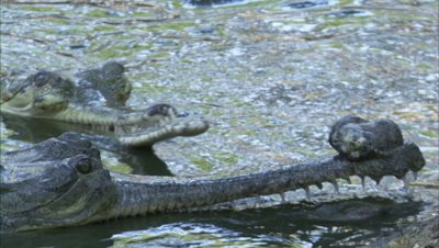 Pair of Gharials at River Bank