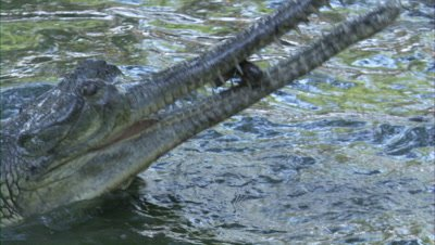 Gharial with Fish in Jaws,swallows