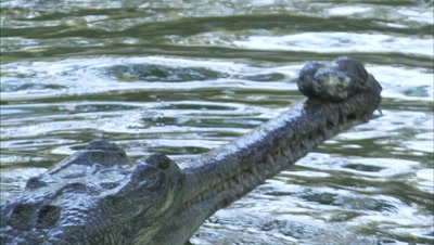 Gharial Comes up with fish in mouth,chews and swallows