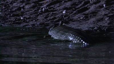 Gharial exits river at night