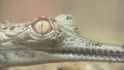 Gharial In River,Underwater