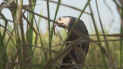 Indian Cobra Hides in Grass,Farm Crop Field,Strikes
