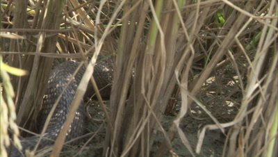 Indian Cobra Crawls in Grass,Farm Crop Field