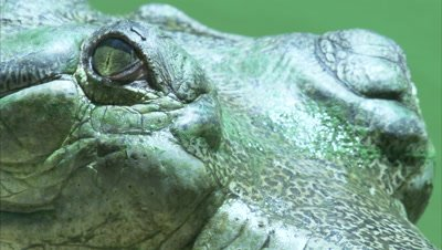 Close Up Of Gharial Head