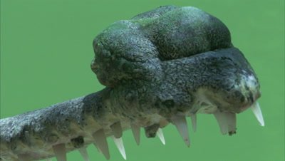 Close Up Of A Gharial Jaw