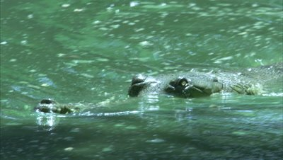 Close Up Of A Gharial In River