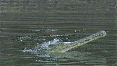 Gharial Floating In River