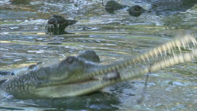Gharial Hunts Fishes In River