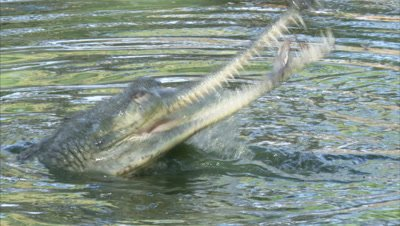Gharial Hunts And Eeats In River