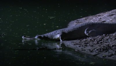 Gharial Crawls and Enters In Water