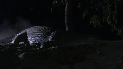 Gharial Crawls On Sand In Night