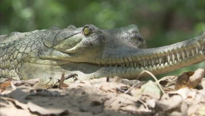 Close Up Of Gharial
