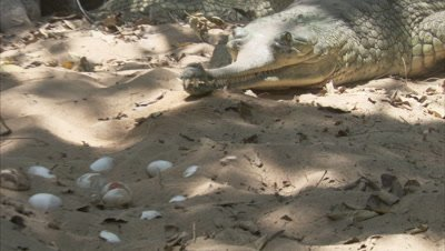 Gharial Near pile of eggs