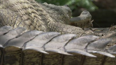 Close Up Of A Gharial