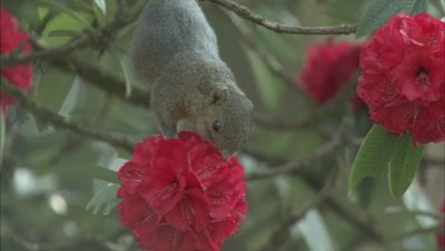Himalayan Squirrel Feeding On Rhododendron Flower