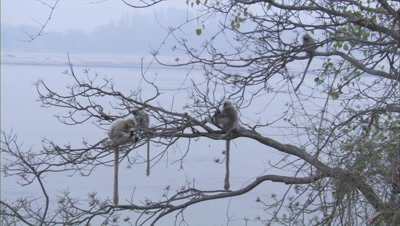 Golden Langurs Sitting In A Tree