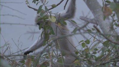 Golden Langur Jumps From A Tree