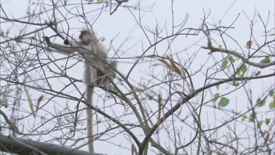Golden Langur Jumping On Branches Of A Tree