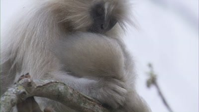 Golden Langur Grooming His Tail While Sitting On A Tree