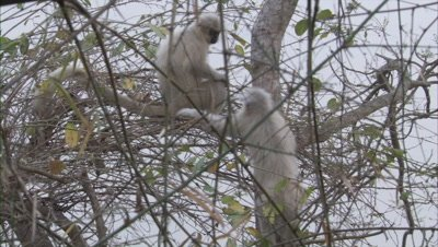Golden Langurs Playing On Branches Of Trees