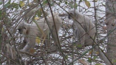 Golden Langurs sitting On Branch Of Tree