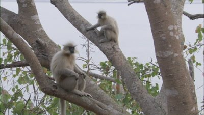 Golden Langurs Sitting And Playing On Branches Of Trees