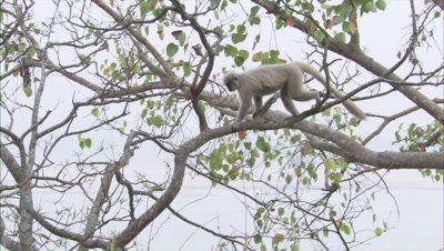 Golden Langur Playing On A Tree