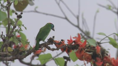 Blue-throated Barbet Bird Feeds on Flowers
